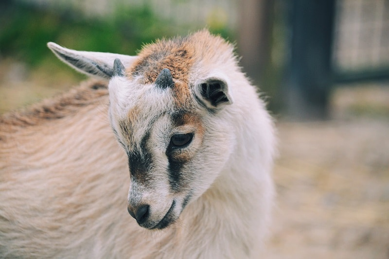goat KEP8SEX