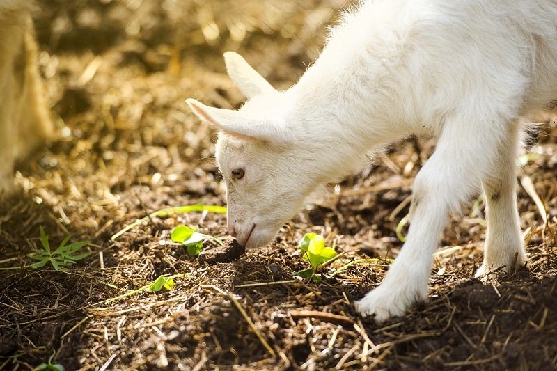 goat on farm P836FT4