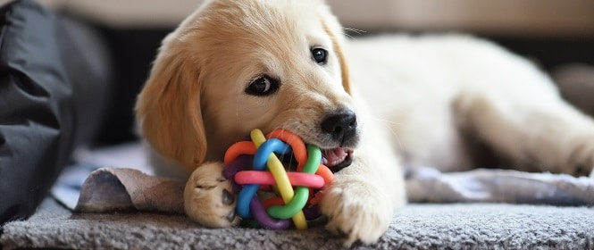 golden retriever dog puppy playing with toy PHFQKHE