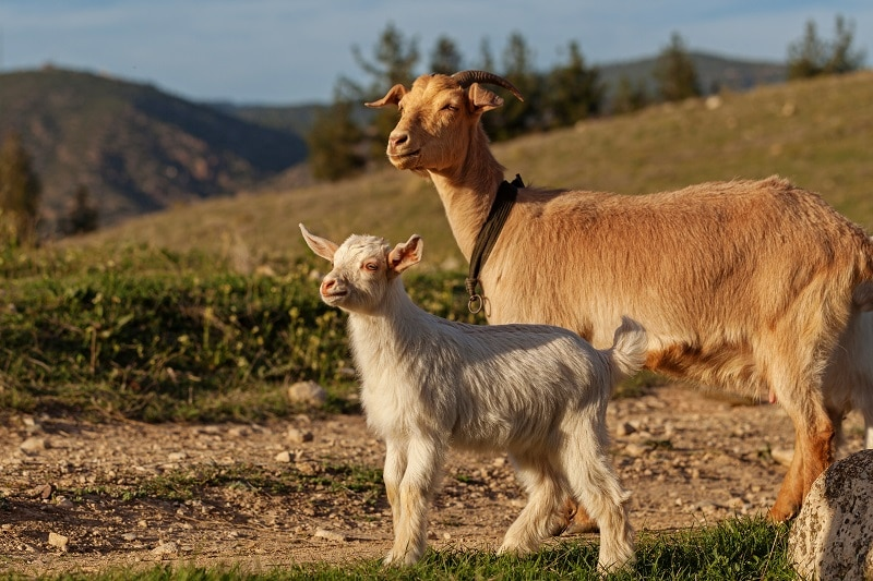 mother goat and her kid PUJ4DX9