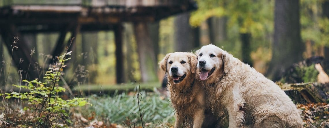 pennhip and hip Dysplasia in dogs